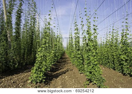 Hop crop rows