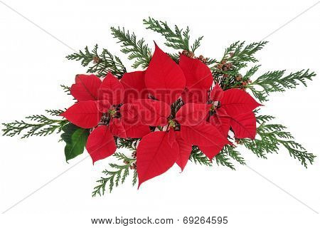 Poinsettia flower arrangement with cedar cypress leaf sprigs over white background.