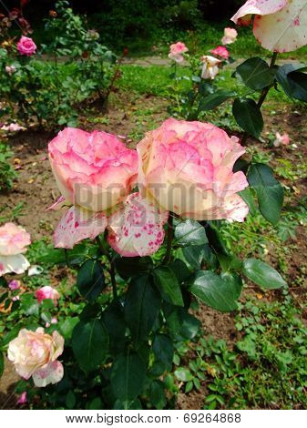 Baronne Edmond De Rothschild Rose