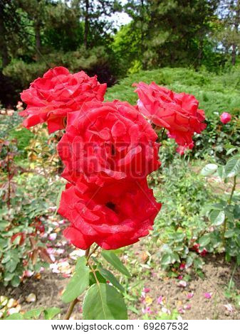 Idylle Rose