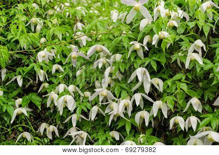 Climber Plant With White Flowers During Heavy Rain