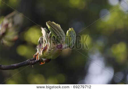 Horse chestnut twig