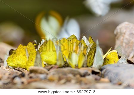 Large Group Of Butterfly Feeding On The Ground.