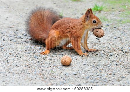 Squirrel gnaws walnut.