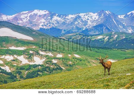 Lonely Elk Alpine Meadow