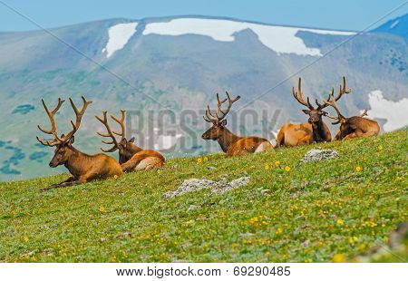 Gang Of Elks In Colorado
