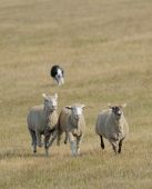 stock photo of herding dog  - Running the Sheep  - JPG