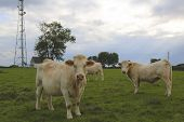 stock photo of charolais  - Charolais cows grazing on pasture in Burgundy - JPG