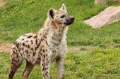 pic of hyenas  - one a  beautiful african wild spotted hyena - JPG