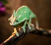 image of terrarium  - Yemen chameleon in terrarium - JPG