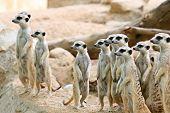 image of meerkats  - Portrait of meerkat on the rock with nature frame - JPG
