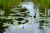 image of ponds  - Lotus plant or water lily in garden pond