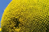 pic of fibonacci  - Sunflower seeds petals and stamens macro on blue sky background - JPG
