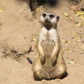Постер, плакат: Meerkat suricata Suricatta With Curious Baby Kalahari Desert South Africa