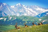 stock photo of snowy hill  - North American Elks on the Rocky Mountain Meadow in Colorado United States - JPG