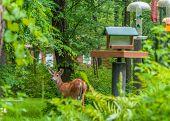 pic of deer rack  - Whitetail Deer spike Buck standing next to bird feeders - JPG
