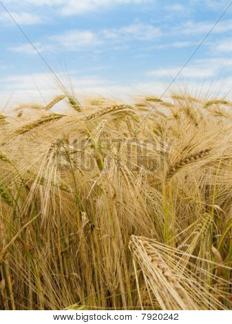 Harvest Of The Wheat