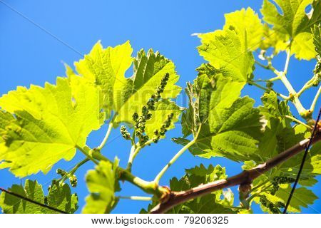 Fresh Tip Of Grapevine Branch