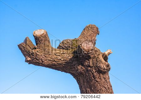 Old Tree With Trimmed Branches On Blue Sky