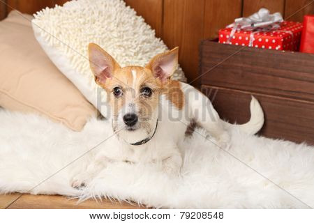 Funny little dog Jack Russell terrier on carpet at home