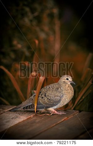 Young Mourning Dove Amid Autumn Foliage