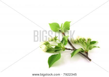 Twig Of Apple-tree With Flowers