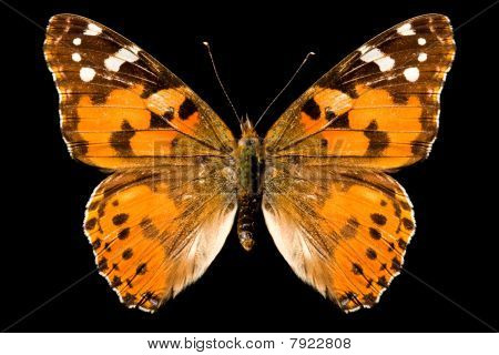 Butterfly, Vanessa Cardui