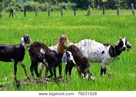 old goats in a feild