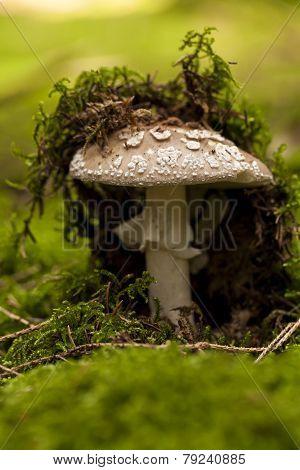 Wild Amanita Mushroom In A Forest