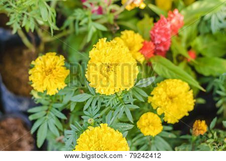 Marigolds In Garden