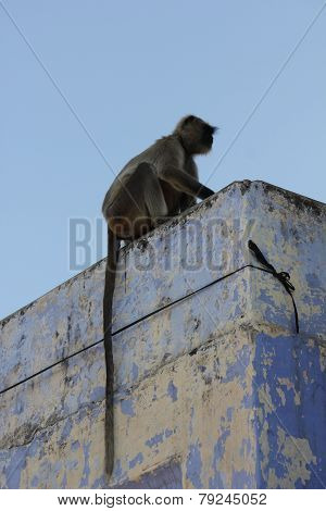 Monkey With A Very Long Tail