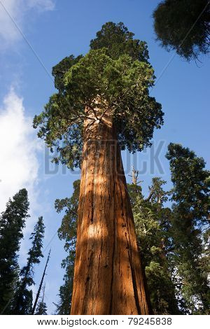 Giant Ancient Seqouia Tree Kings Canyon National Park