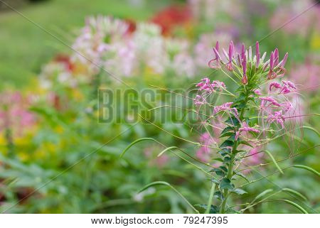 Cleome Hassleriana Or Spider Flower