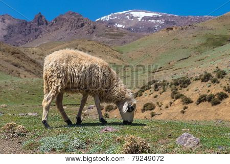 Sheep In The Mount Atlas
