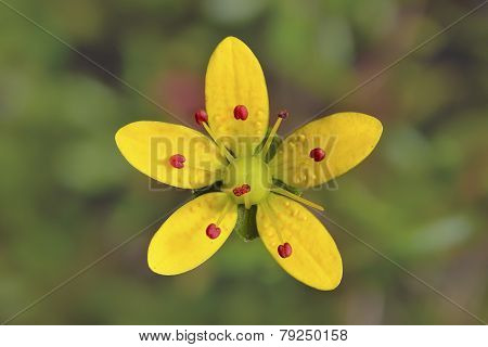 Saxifraga Brunonis,yellow Flower In Vellay Of Flowers , India