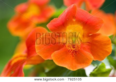 Monkey Flower Group Closeup