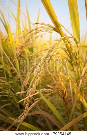 a golden rice field and bule sky.