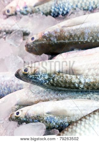 Gray Mullet Fishes.
