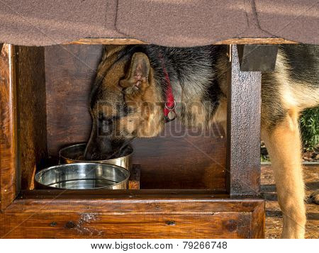 German Shepherd eating from metal bowl in its kennel
