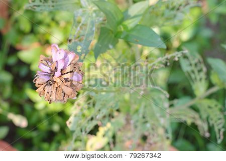 Dried Zinnia Flower