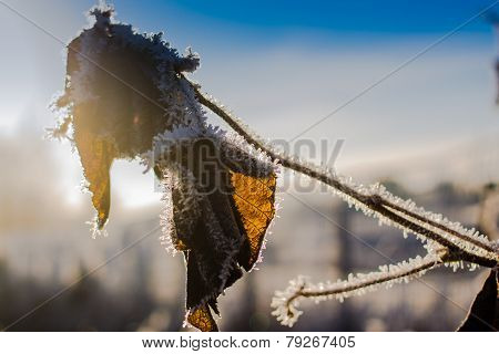 Dead Leaves In Frost