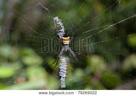 Tiger-spider