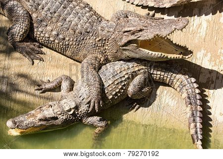 Crocodile Farm In Phuket, Thailand. Dangerous Alligator In Wildlife