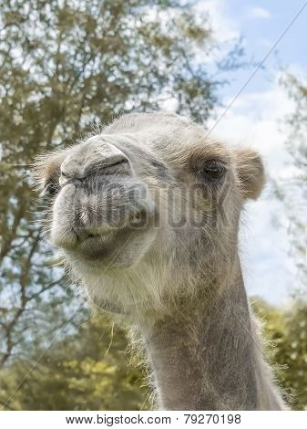 Portrait of a camel (kind Camelius)