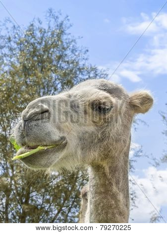Portrait of a camel eating (kind Camelius)