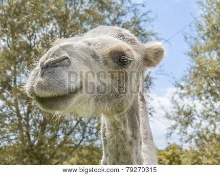 Portrait of a female camel (kind Camelius)