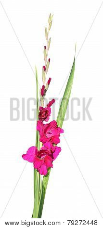 Red Gladiolus Flower Isolated