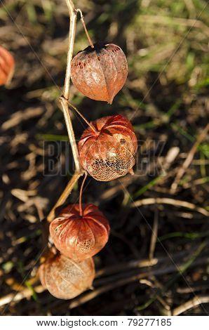 Bladder Cherry