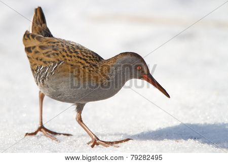 Water rail (Rallus aquaticus) in the snow