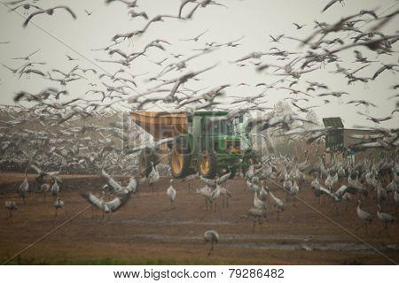 Hula Crane Feeding Project